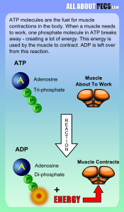 ATP breaks down to ADP to create energy needed for muscle contractions